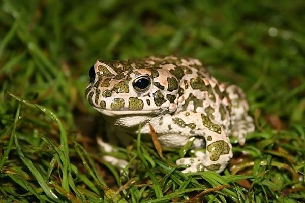 Зеленая жаба (bufo viridis)